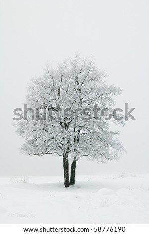 The tree covered with hoarfrost in a fog