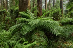 The tree ferns are the ferns that grow with a trunk elevating the fronds above ground level. Most tree ferns are members of the