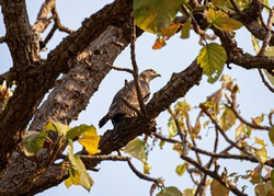 The tree has brown bark. One bird has grayish brown feathers.. With a bent beak is perched behind a small branch.