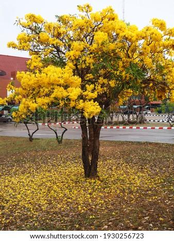 The tree has full yellow flowers, Silver trumpet tree, Tree of gold, Paraguayan silver trumpet tree; Scientific Name: Tabebuia aurea. Stockfoto ©