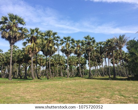 The tree is about 30 meters tall, round, slender, not branched. The bark is a solid, single leaf blossom, alternating densely, the canopy is a bushy, swollen, 6-8 centimeters long, up to 140 centimete Stock fotó ©