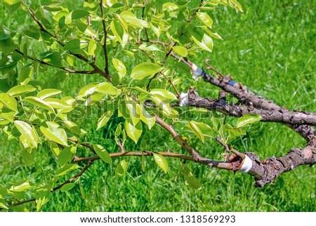The tree of Apple pear is depicted on the branches of which the young branches are grafted fastened with a white and blue ribbon with an old branch. In Sunny weather close-up. #1318569293