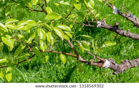 The tree of Apple pear is depicted on the branches of which the young branches are grafted fastened with a white and blue ribbon with an old branch. In sunny weather. #1318569302