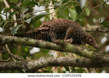 The tree pangolin, also known as the white-bellied pangolin or three-cusped pangolin, it is the most common of the African forest pangolins. The species is endangered due to poaching and habitat loss. #1339554398
