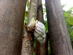 The tree snail or Amphidromus Perversus is the land snail that live in a tree. The Shell was a round the egg extends by the end. A color is Bright yellow and light brown, ribbed straight or circular.