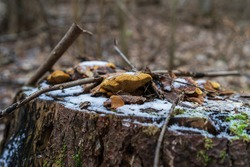 The tree stump in a winter forest, covered with moss, fungi (Polypore) and snow.