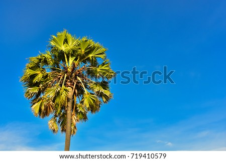 the tree top of sugar palm with ...