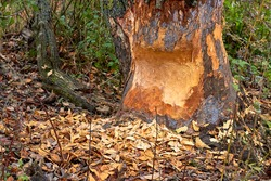The tree was gnawed by beavers. Fallen tree with beaver teeth marks. Tree trunk nibbled by beavers on river bank in forest