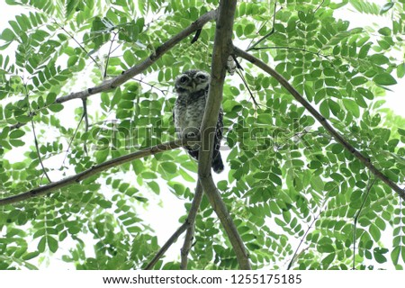 The true owl with dark - brown color , and oval white spots over its chest and belly. #1255175185
