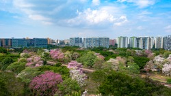 The trumpet trees, Singapore's own version of Sakura, are blooming all over Singapore in first two weeks of october; Tampines's neighbourhood, residential estate and MRT railway in the background.