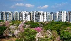 The trumpet trees, Singapore's own version of Sakura, are blooming all over Singapore in first two weeks of october; Tampines's neighbourhood, residential estate in the background.