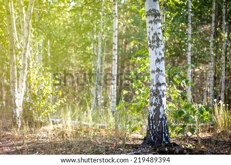 The trunk of a birch on a background of birch trees in the sun