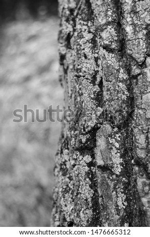 The trunk of a large large tree with moss on the right. Monochrome. Vertical arrangement. #1476665312