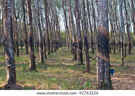 The trunk of rubber trees are cut, Trad province, Thailand