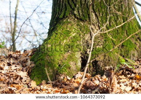 the trunk of the old tree, covered with green moss and illuminated by sunlight, the autumn season, on the ground lies fallen leaves fallen leaves, closeup #1064373092