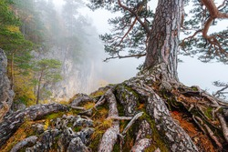 The trunk with the root system of an old pine tree growing in misty mountain forest.