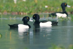 The tufted duck is a small diving duck with a population of close to one million birds, found in northern Eurasia.