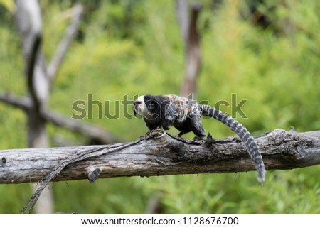 the tufted-ear marmoset, Geoffroy's marmoset, or Geoffrey's marmoset walks on the branch