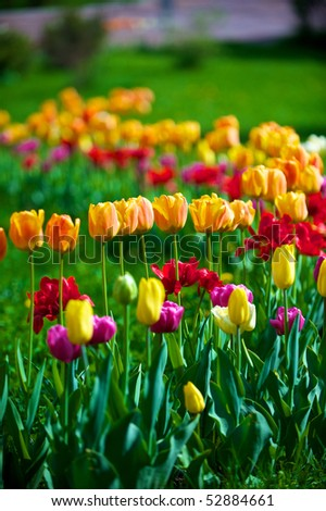 The tulips, blooming in a garden. Colorful flowers
