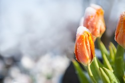 The tulips during the last days of winter with melting snow / tulips in the snow, looking for spring, melting snow