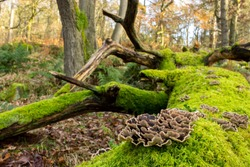 The Turkey Tail fungus (Trametes versicolor), also known as Coriolus versicolor and Polyporus versicolor