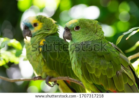 The turquoise-fronted amazon (Amazona aestiva), also called the turquoise-fronted parrot, the blue-fronted amazon and the blue-fronted parrot, is a South American species of amazon parrot and one of t