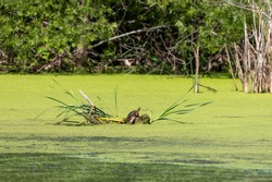 The turtle basking in the sun on small lake.Natural scene from Wisconsin.