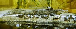 The Turtle collector. American Alligator and red-bellied turtles