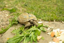 The turtle is eating grass. Land turtle on a green lawn. Reptile carapace.