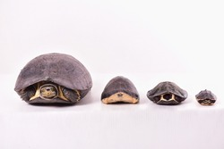 The turtle 4 on white background, ranging from large to small. Some will hide it head into the shell.