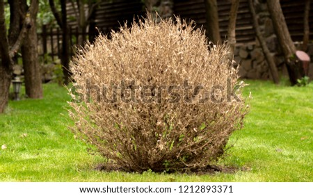 The twigs and leaves of boxwood turn yellow because of the sucking damage. #1212893371
