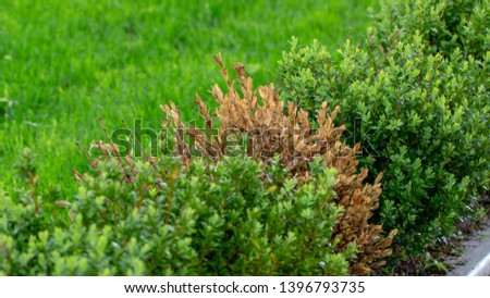 The twigs and leaves of boxwood turn yellow because of the sucking damage. #1396793735