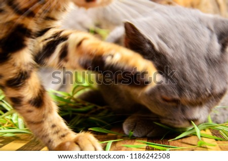 The two blurred moving cats. A blurry fluffy grey british shorthair cat  facing down on the floor with a blurry bengal cat's hand is up, looking like a bengal cat is slapping a grey one. #1186242508