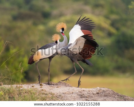 Shutterstock The two Grey Crownned Cranes, balearica regulorum are dancing in soft light during sunset, green bokeh backround, opened wings, Uganda