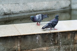 the two pigeons female and male stand in a waterfall in the city in summer, relationship and love birds