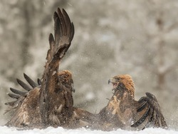 The two vicious golden eagles fighting with each other on the snowy field in the wild