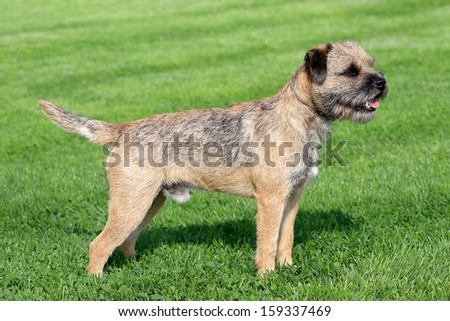 The typical Border Terrier in a garden #159337469