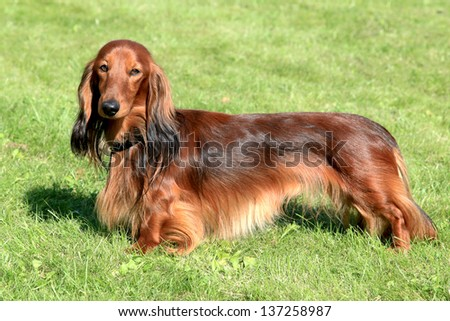 The typical Dachshund Standard Long-haired Red dog