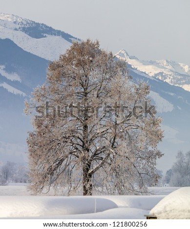 The tyrolean treeearly frosty morning - Austria