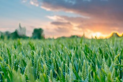 The unripe green wheat field under summer sunset sky with clouds. Focus on the foreground. Shallow depth of field.