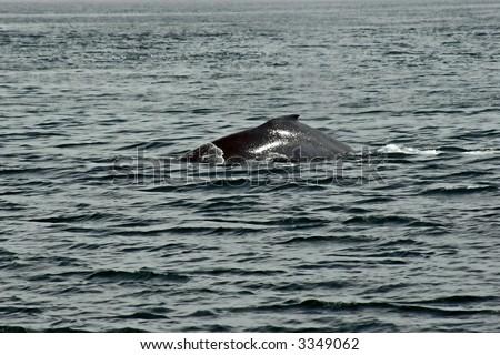 The upper back of hunchback whale in Alaska.