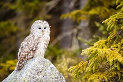 The Ural Owl or Strix uralensis on the rock
