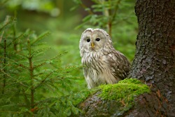 The Ural owl (Strix uralensis) is a medium-sized nocturnal owl of the genus Strix, with up to 15 subspecies found in Europe and northern Asia