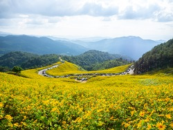 The vast Mexican sunflower field yellow color beautiful in bloom season and natural views, mountains and cloudy skies, parking lot on the road from tourists at north Thailand.