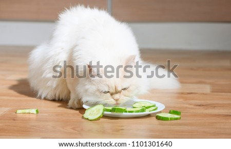 The vegetarian cat is eating the vegetable slices from a plate. The animal vegan is feeding the fresh raw cucumbers. The concept about healthy and dietary food. It is the white pet in a kitchen.