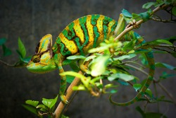 The Veiled chameleon (Chamaeleo calyptratus, also called Yemen chameleon) is a large species of chameleon found in the mountain regions of Yemen, the United Arab Emirates, and Saudi Arabia.