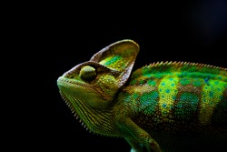 Theveiled chameleon(Chamaeleo calyptratus) is aspeciesofchameleonnative to theArabian PeninsulainYemenandSaudi Arabia. Other common names includecone-head chameleonandYemen chameleon.