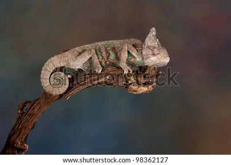 The veiled chameleon ( Chamaeleo calyptratus) with a beautiful colored background