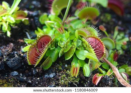 The Venus flytrap (Venus's flytrap or Venus' flytrap, Dionaea muscipula)  carnivorous plant, macro photography, exotic tropical floral pic.