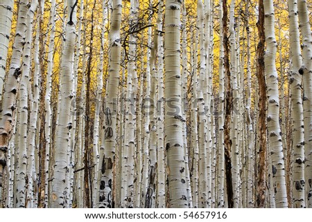 The vertical white trunks of the aspen trees contrast against the golden backdrop of the  fall leaves.